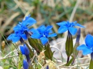 Синьото биле и баба Авгия, която лекуваше всичко